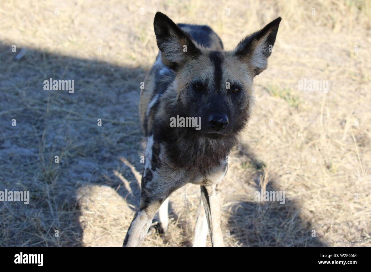 Painted Dogs, Hwange National Park, Zimbabwe Stock Photo