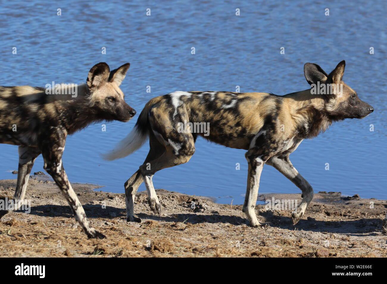Painted Dogs, Hwange National Park, Zimbabwe Stock Photo