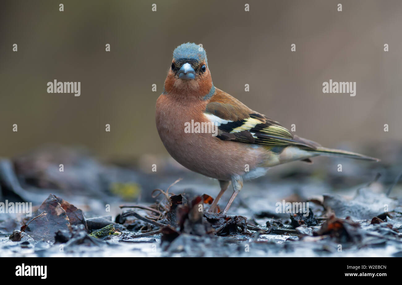 Male Common Chaffinch standing in  water on the edge of pond - Stock Image