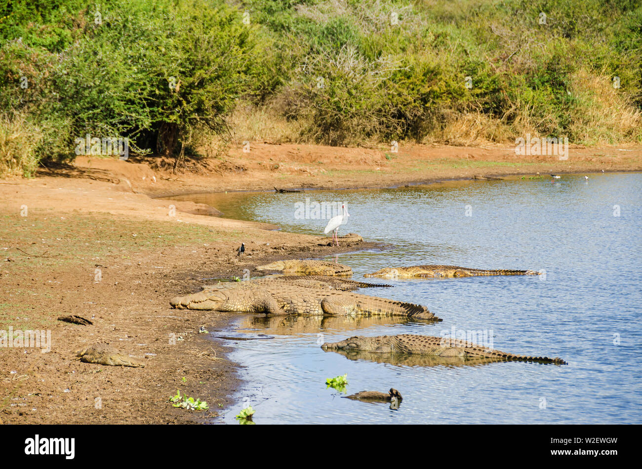 Nile Crocodiles (Crocodylus niloticus)  and African spoonbill (Platalea alba) on the banks of the Sabie River, one of the most biologically diverse ri - Stock Image