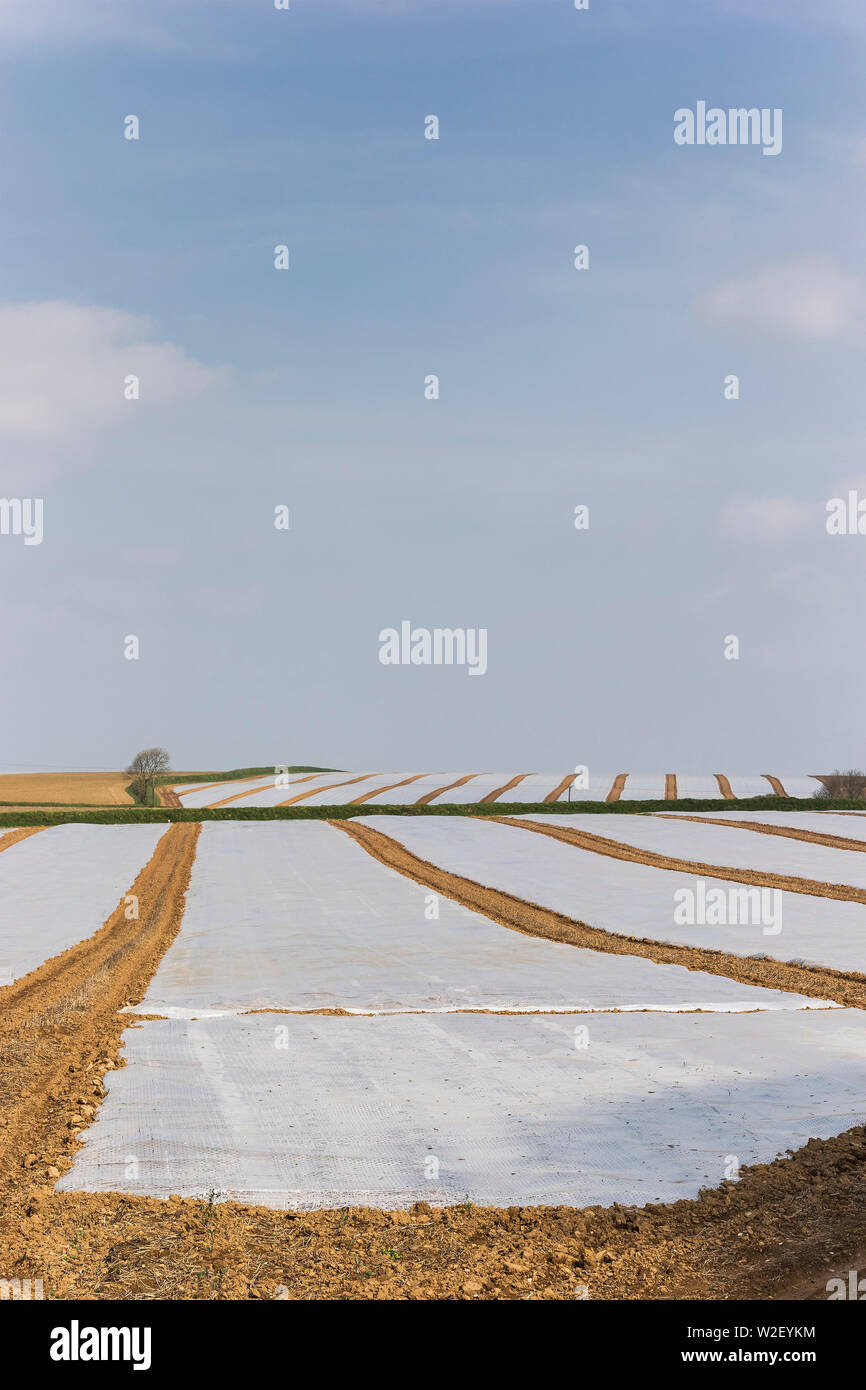 Plastic sheeting used to protect crop in Cornwall, UK - Stock Image