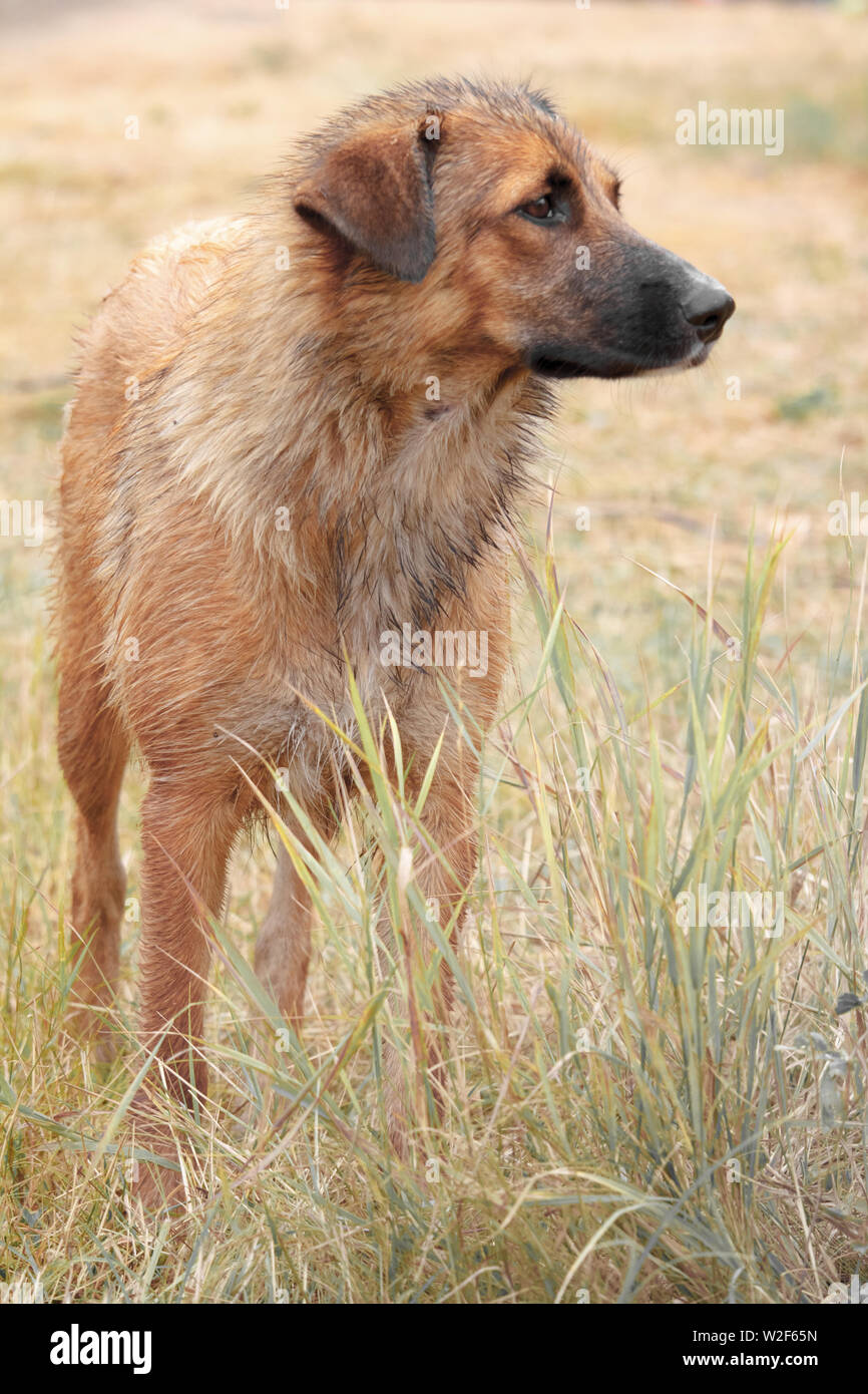 Portrait of a lonely homeless big dog stands in faded tall grass and looks away. Stock Photo