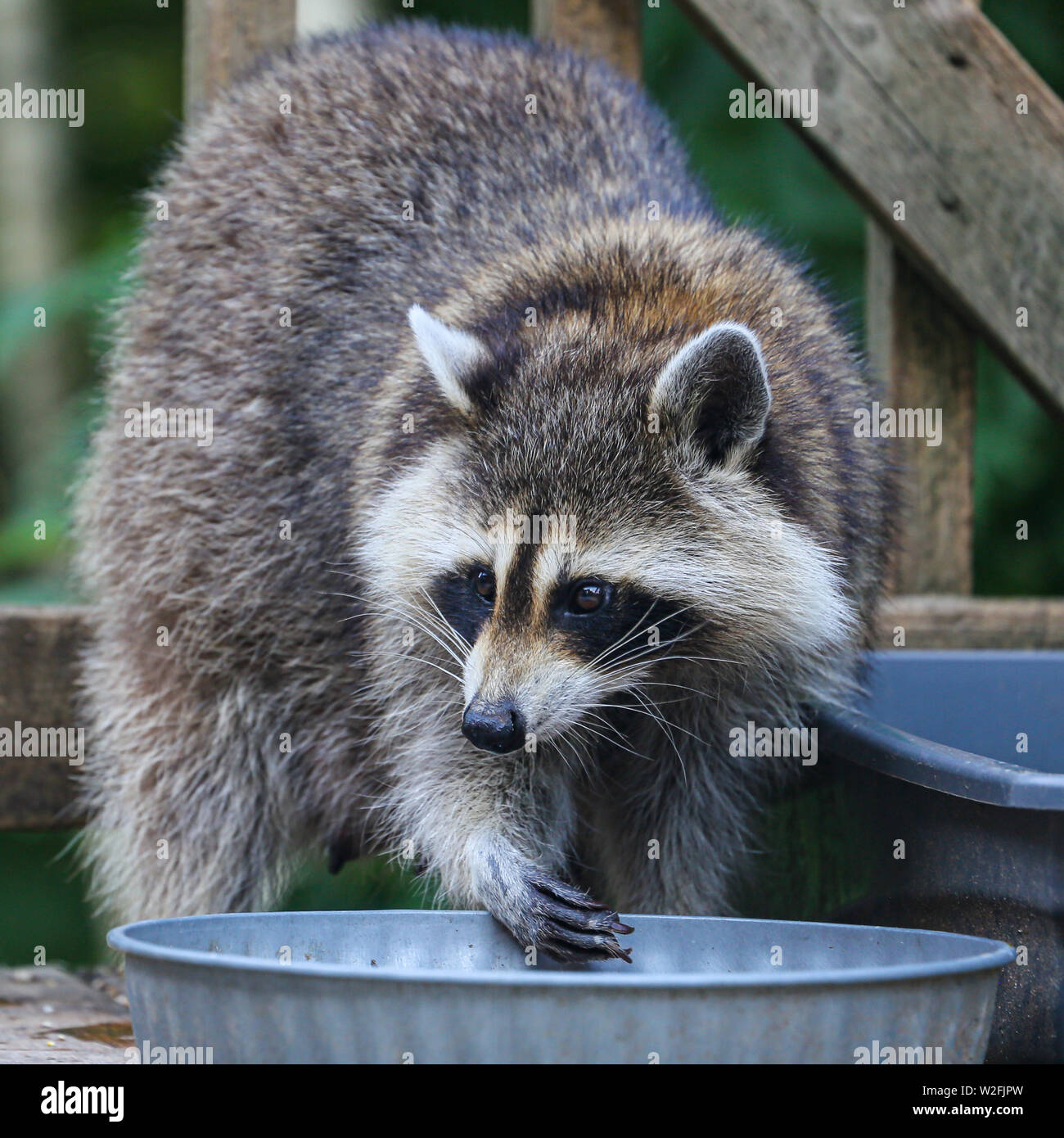 Closeup of a female raccoon scooping up food from a metal food bowl, on a wooden deck against dark green foliage. - Stock Image