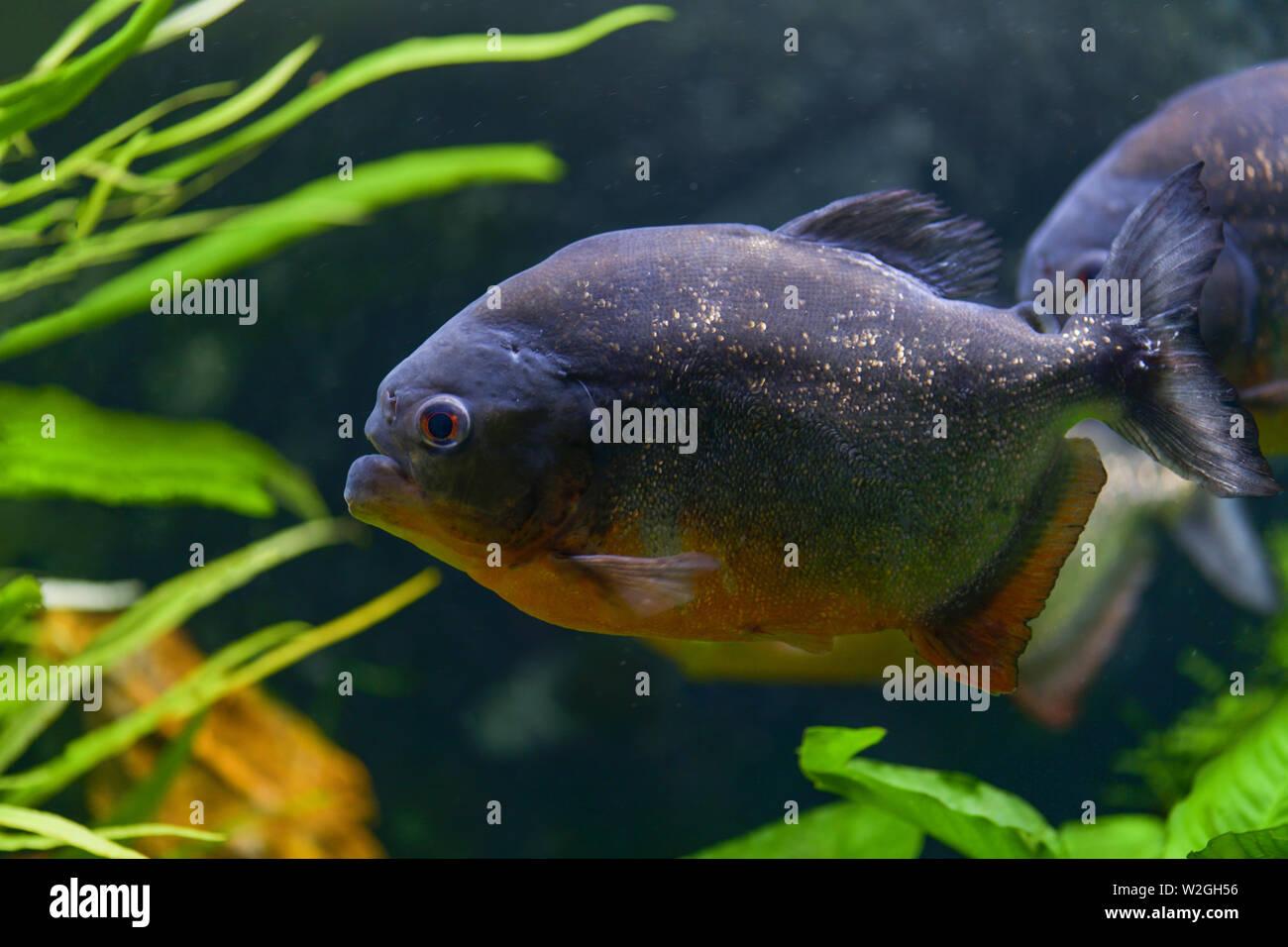 Predatory piranha fish swim in a transparent aquarium in a pet store. Horizontal photography - Stock Image