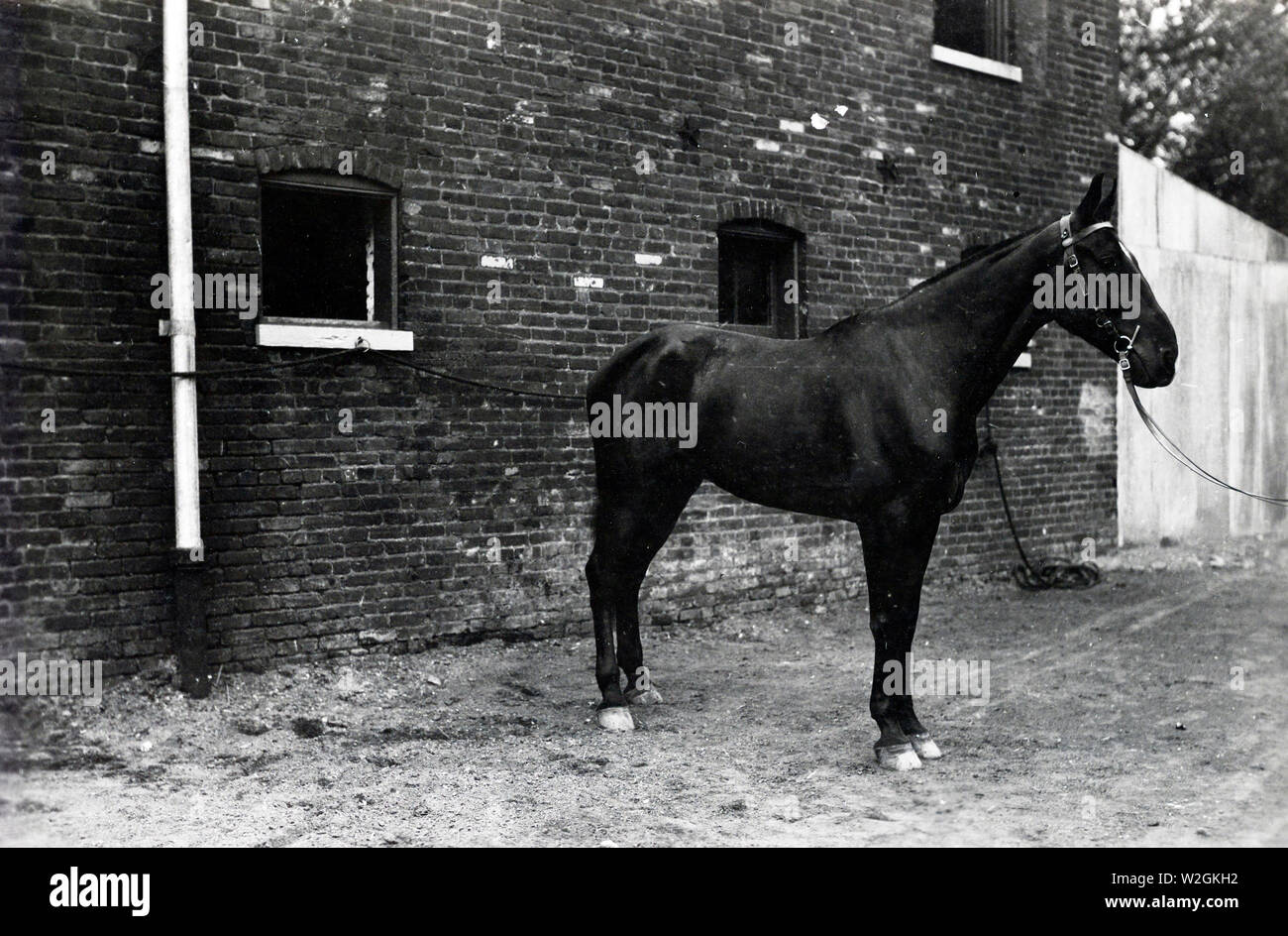 Ceasar [Caesar?] (Owned by Major General Andre Brewster, Inspector General, A.E.F.) This horse was taken to France with the A.E.F. and turned over to Lieutenant W.J. Cunningham, in charge of G.H.Q. Stables ca. 1920 - Stock Image