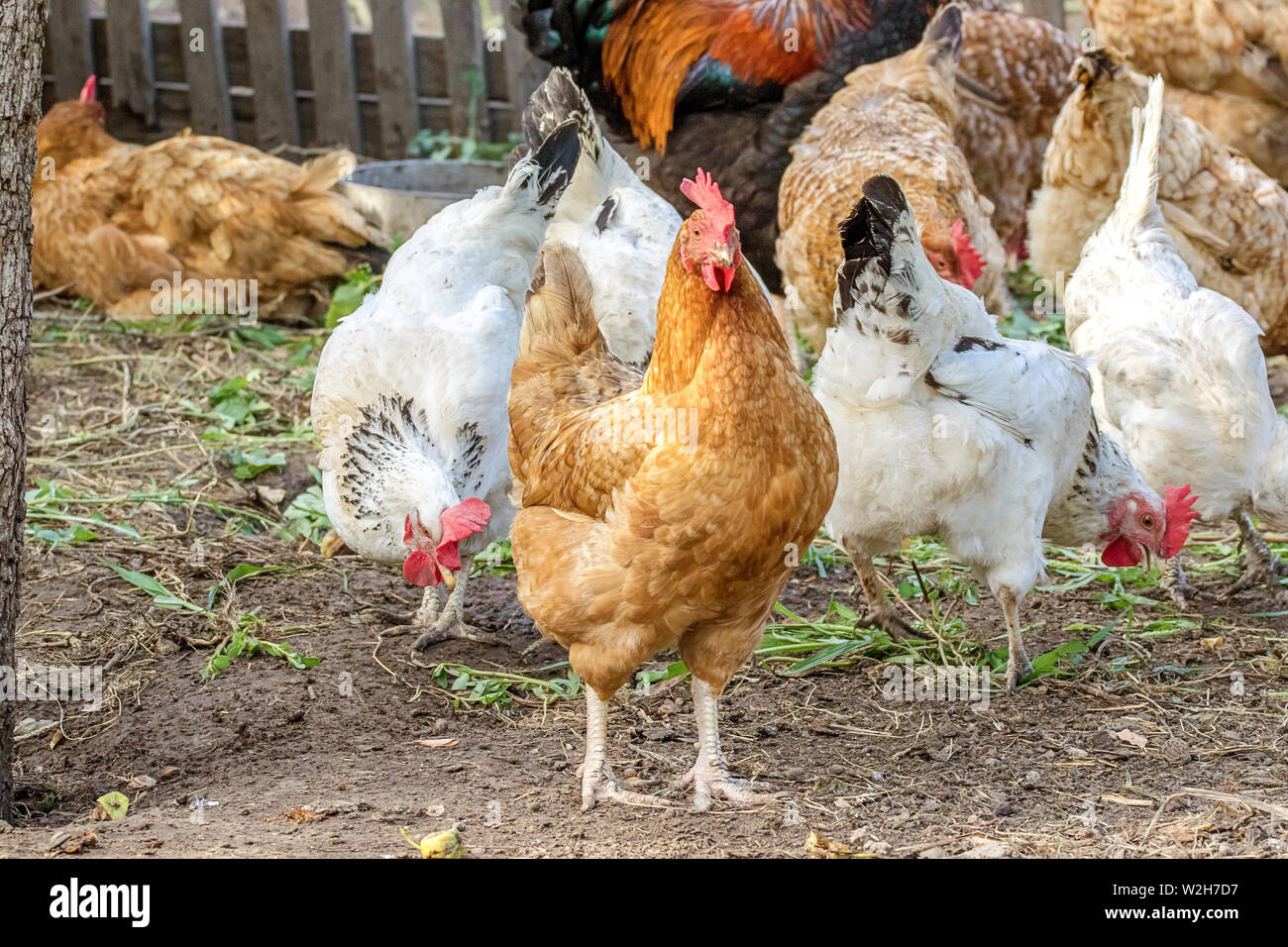 image chicken grazes in the farmyard yard - Stock Image