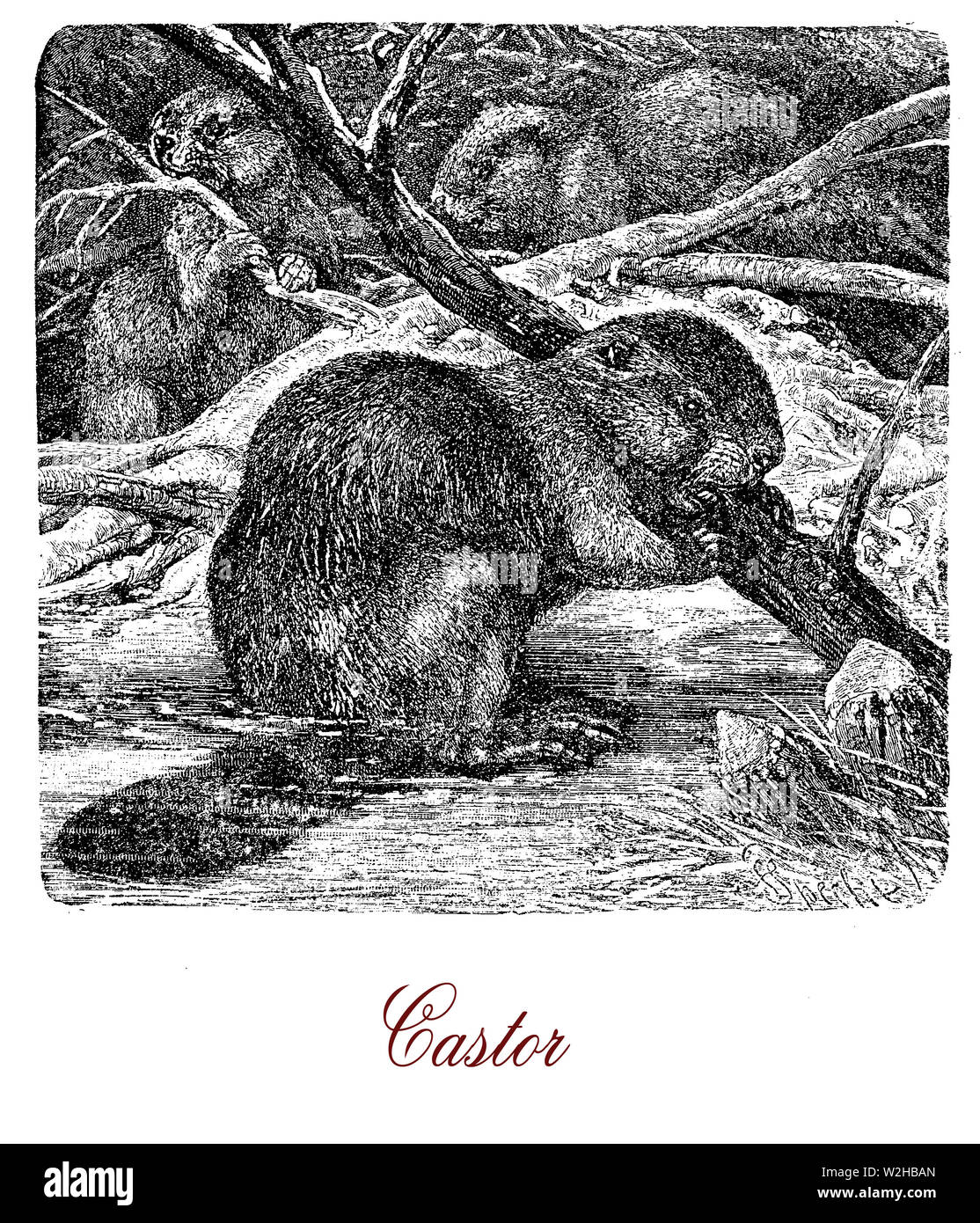 Beaver is a large,  nocturnal, semiaquatic rodent with sleek body and webbed hind feet,  more agile in the water than on land with the help of the tail flattened and scaly - Stock Image