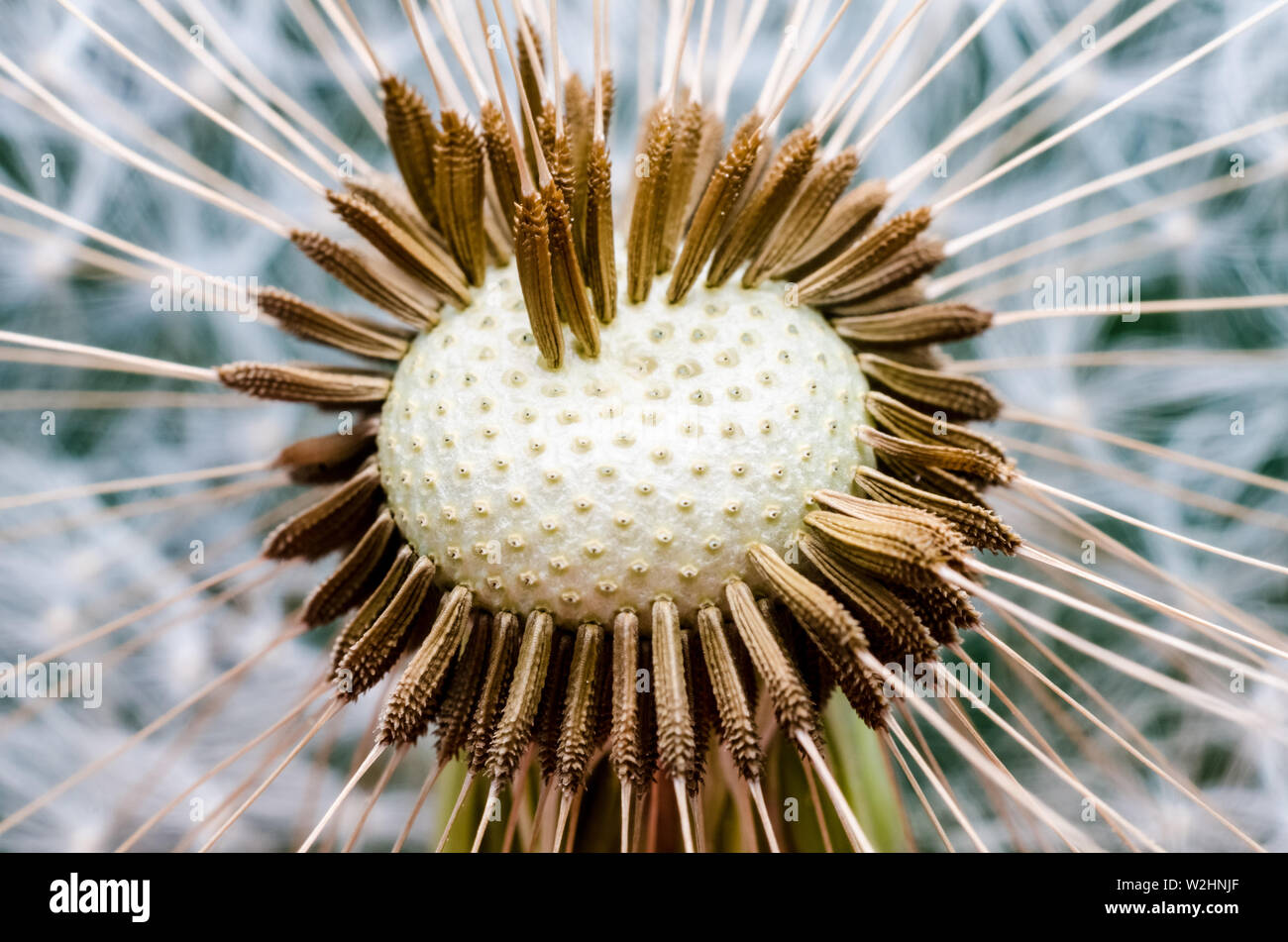 Taraxacum, Asteraceae, extreme macro close up of dandelion flower with focus on seeds in center Stock Photo