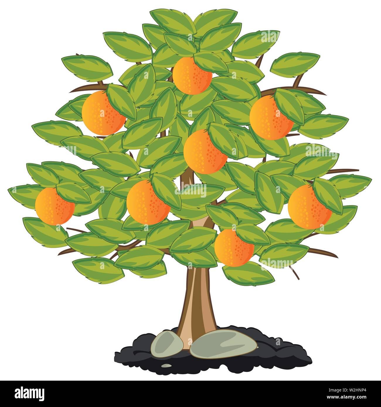 Vector illustration orange tree with ripe fruit - Stock Vector