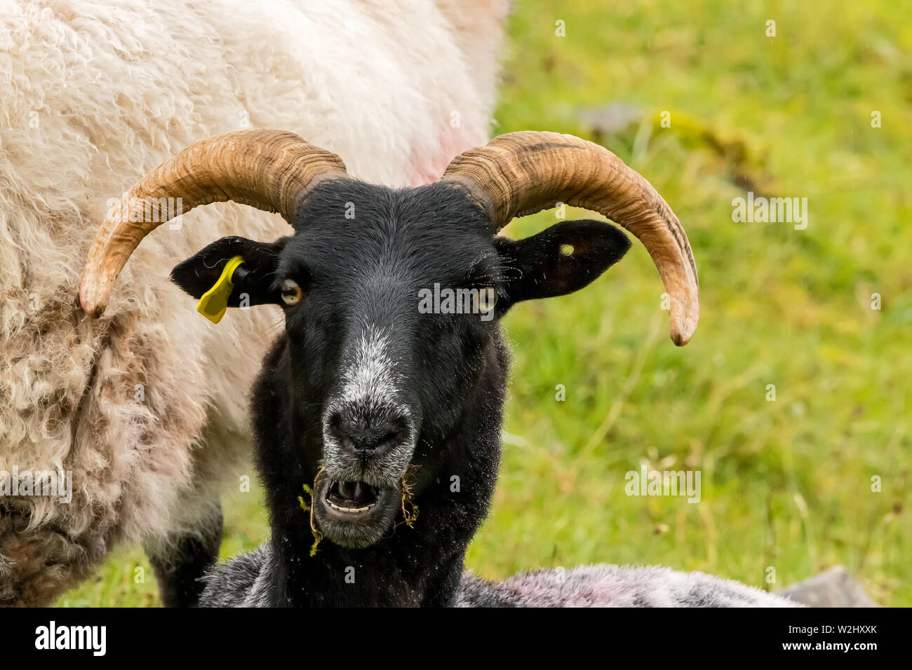 A black headed sheep looking at me, captured in Ireland - Stock Image