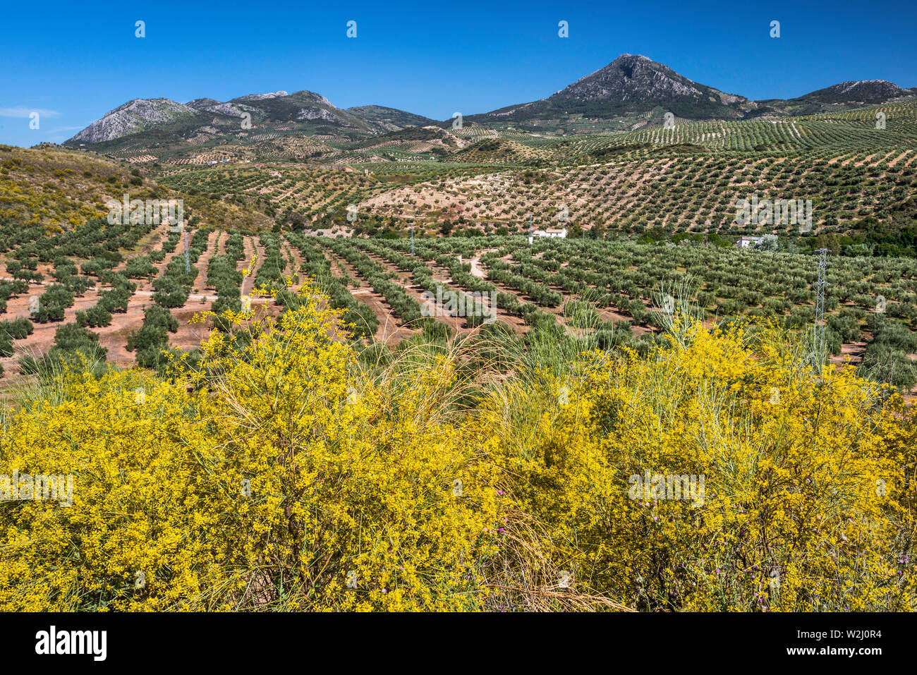 Olive tree orchards, Sierra Ahillos in distance, near Alcaudete, Jaen province, Andalusia, Spain - Stock Image