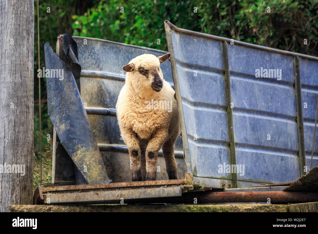 Sheep hiding in the iron tunnel in the Southern Scenic Route, New Zealand. - Stock Image