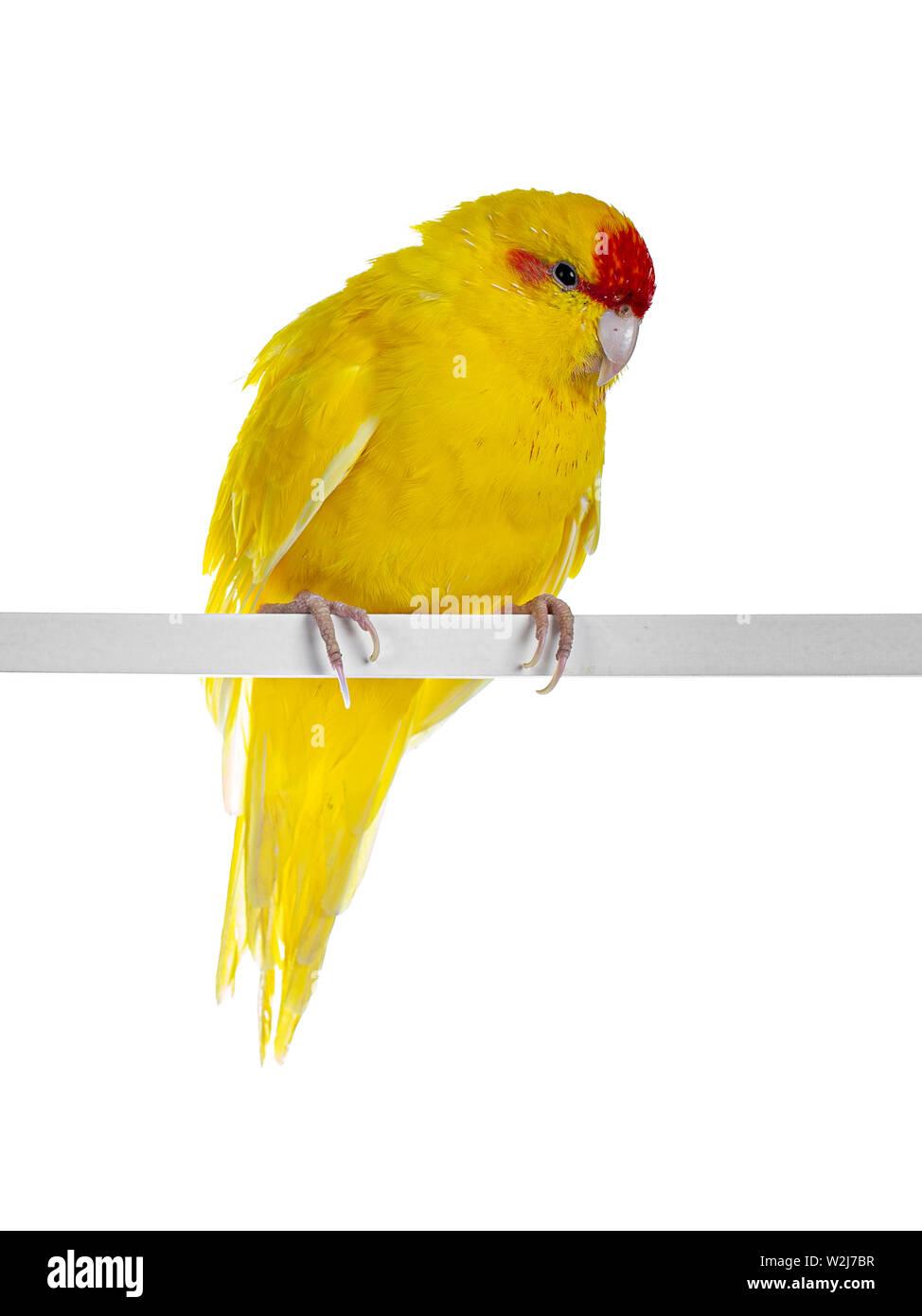 Red crowned yellow Kakariki bird, sitting side ways on white rod. Showing both eyes to camera. Isolated on white background. - Stock Image