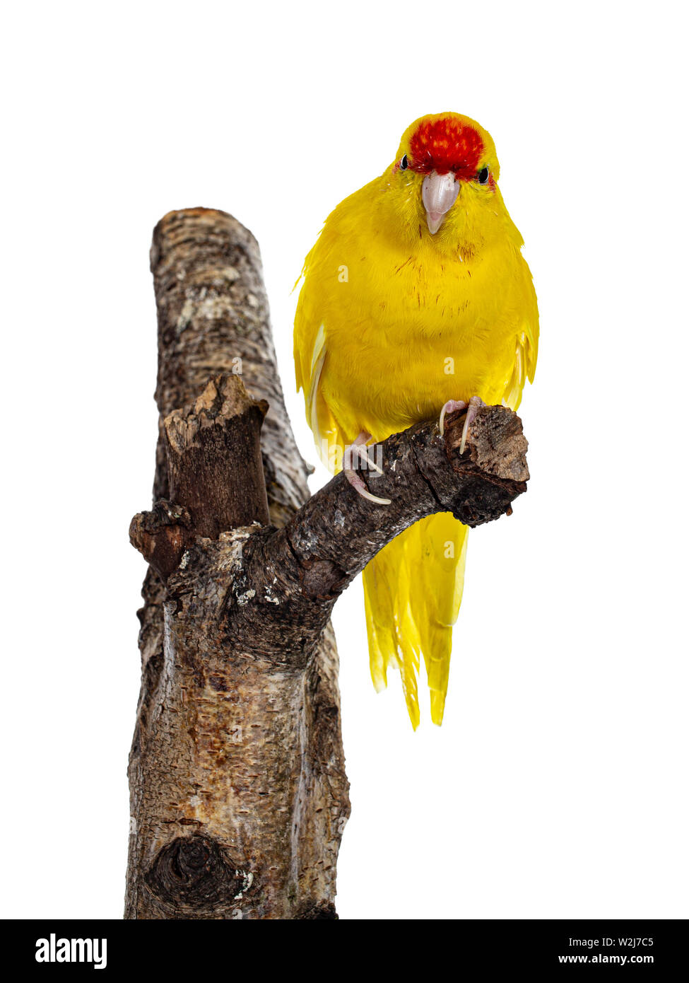 Red crowned yellow Kakariki bird, sitting facing front on part of tree. Showing both eyes to camera. Isolated on white background. - Stock Image