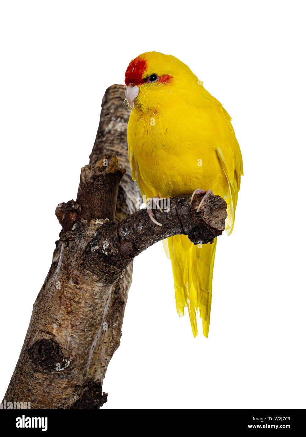 Red crowned yellow Kakariki bird, sitting side ways on branch of tree. Isolated on white background. - Stock Image