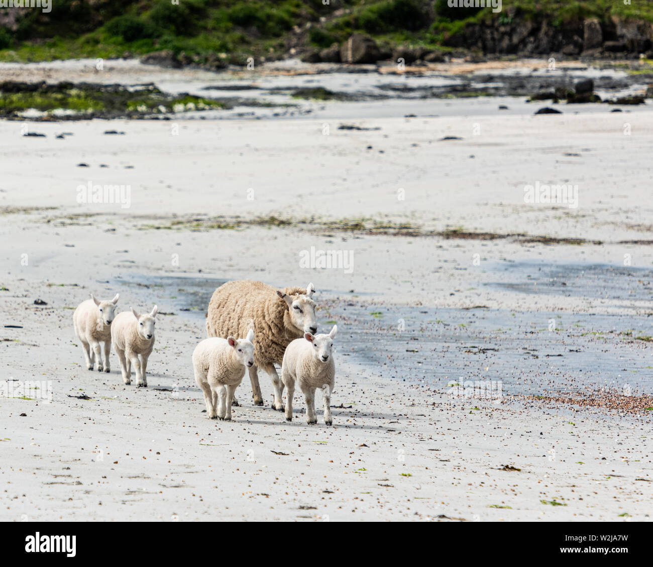 A sheep and its lambs enjoying the sun on a sandy beach on the Isle of Muck which is part of the Small Isles in Inner Hebrides, Scotland - Stock Image