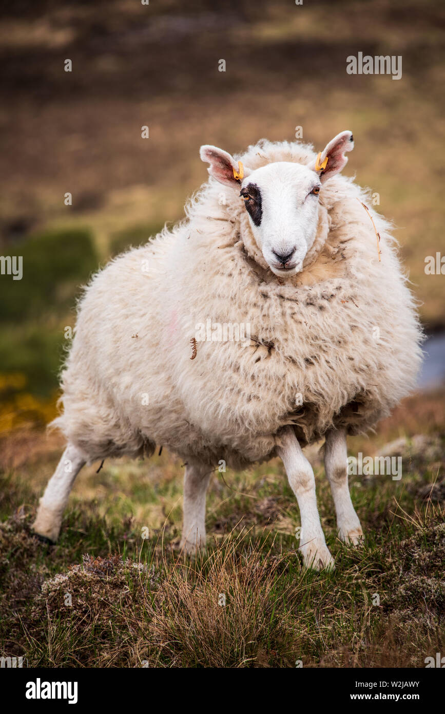 Sheep standing on rough moorland on a Scottish hill farm in the highalnds - Stock Image