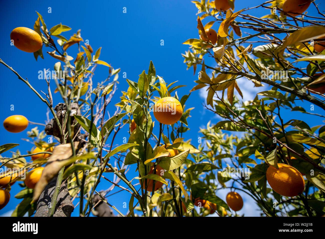 Marbella Themenbild Sommer, Orangen   Orangen an einem Orangenbaum vor blauem Himmel bei strahlendem Sonnenschein. Stock Photo