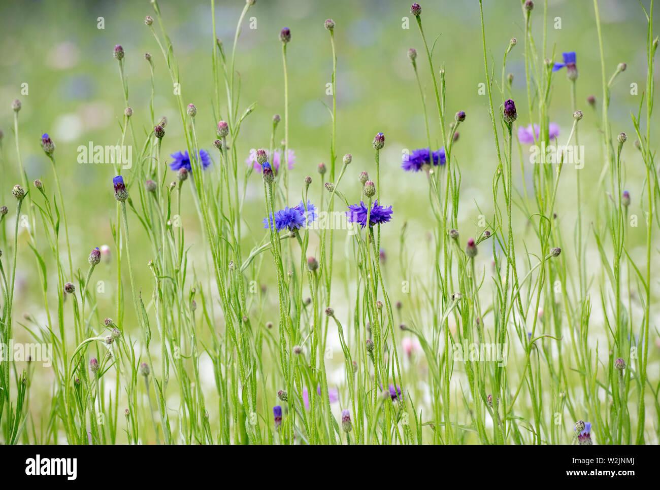 Centaurea cyanus. Cornflower wildflower meadow in an english garden - Stock Image