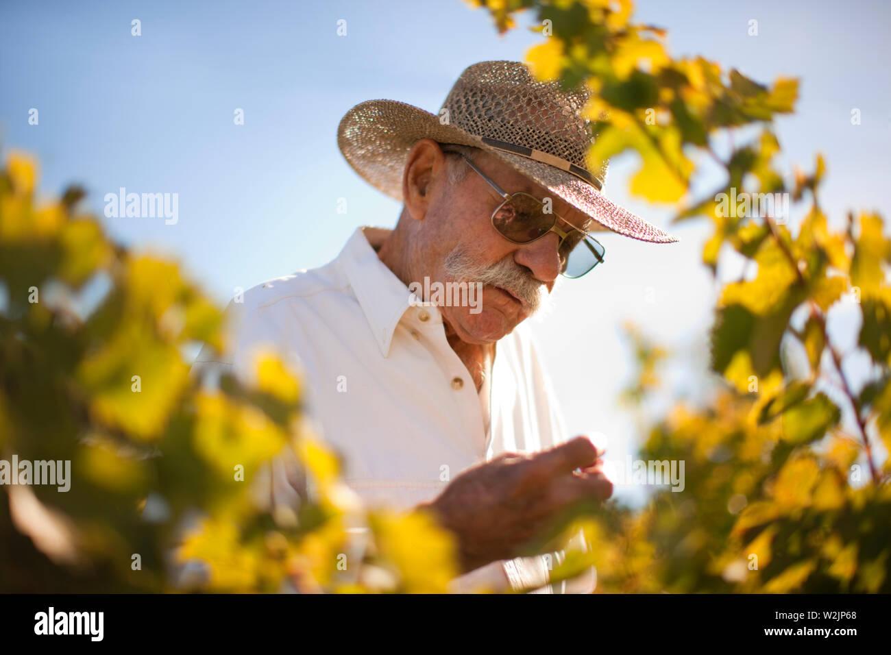 Farmer scrutinising vineyard. - Stock Image