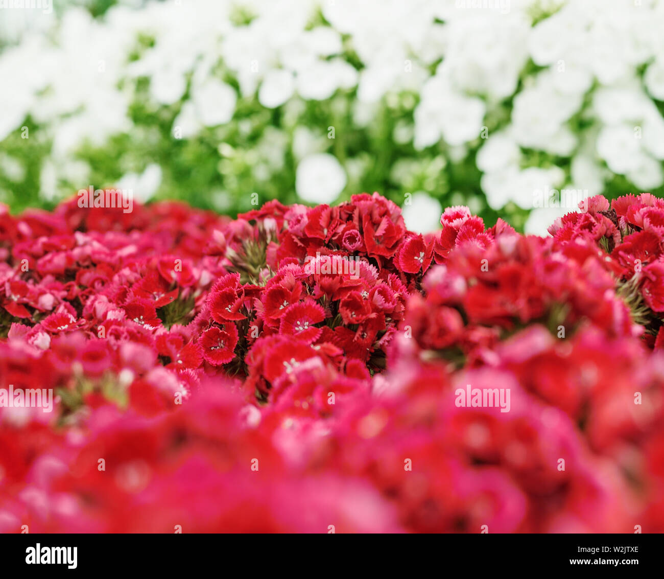 a bunch of Sweet William (Dianthus barbatus) flowers, red, pink - Stock Image