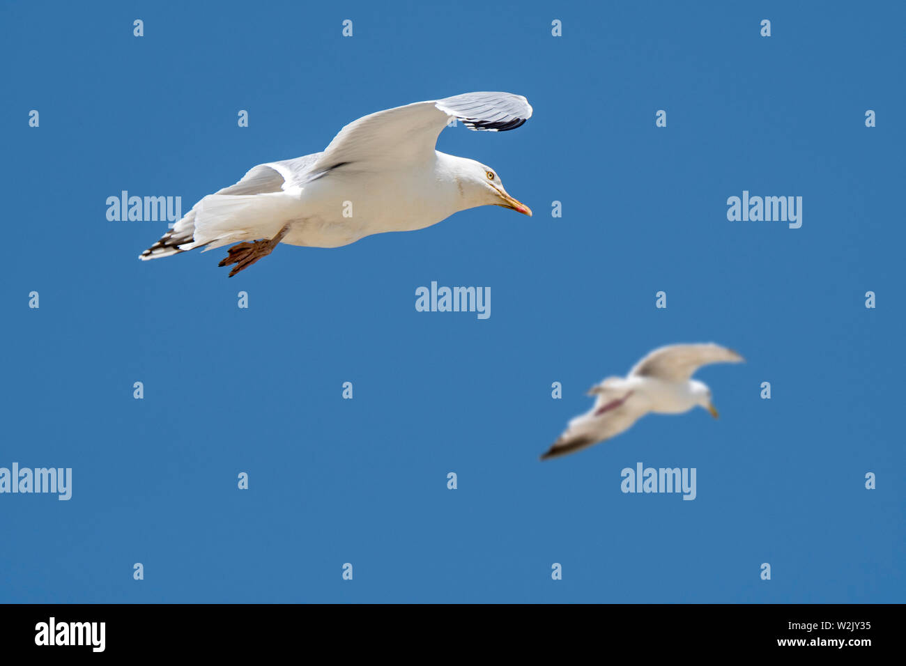 Two adult European herring gulls (Larus argentatus) in flight against blue sky - Stock Image