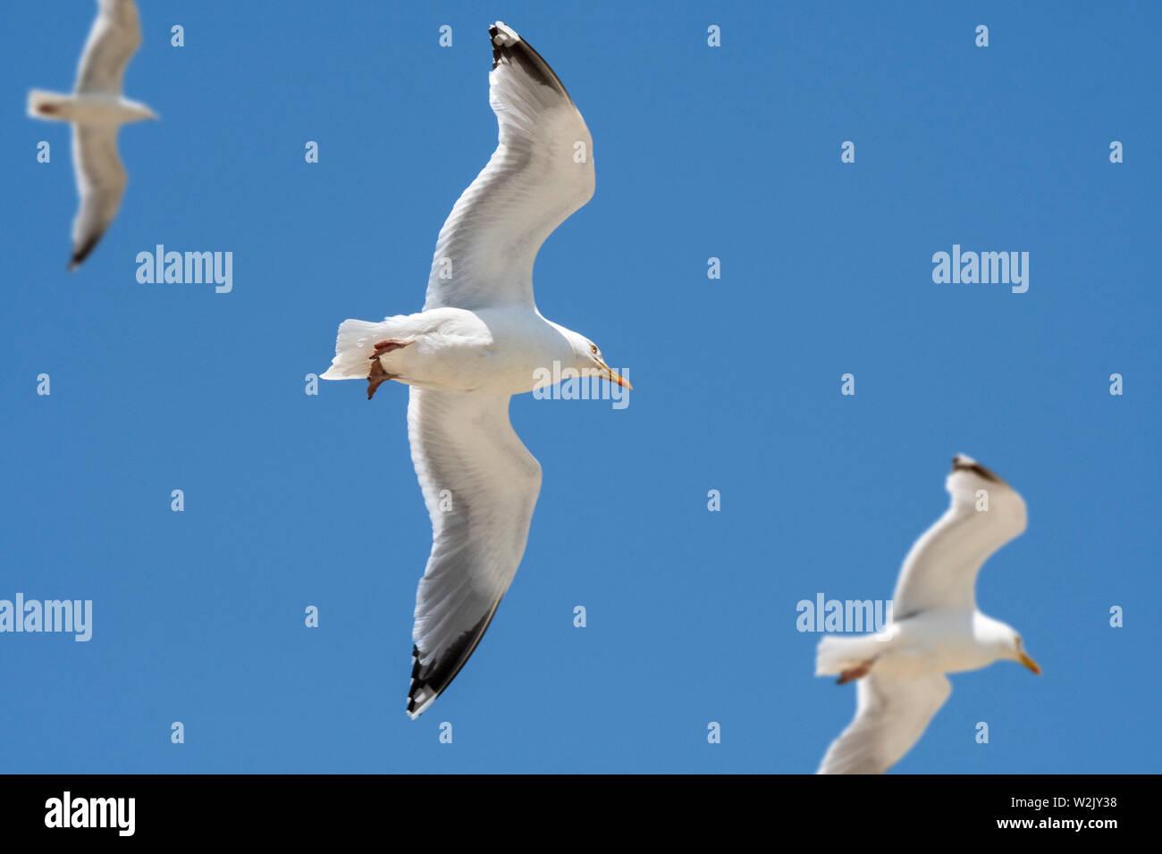 Three European herring gulls (Larus argentatus) in flight against blue sky - Stock Image