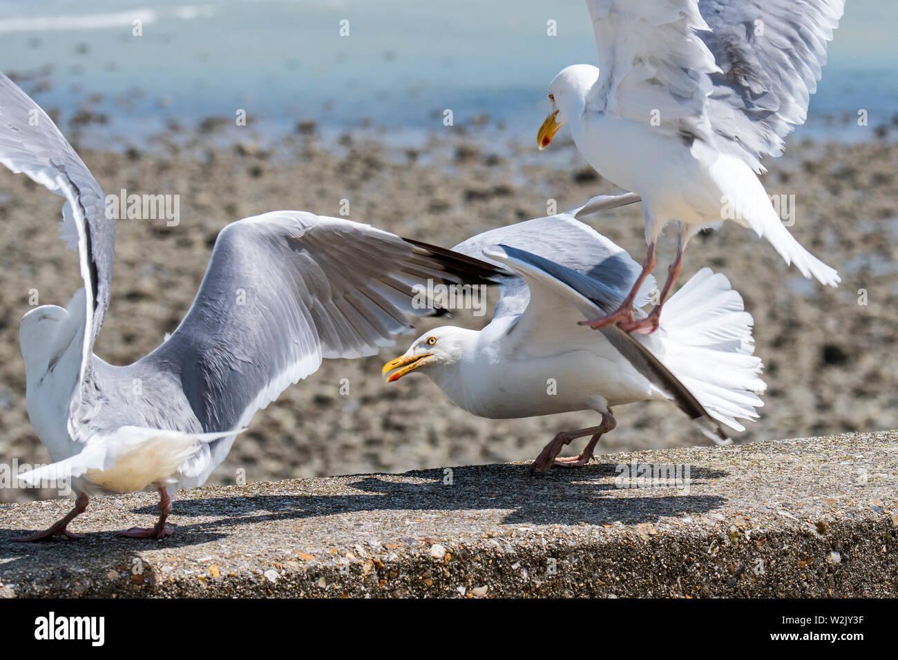 European herring gulls (Larus argentatus) landing on seawall at seaside resort - Stock Image