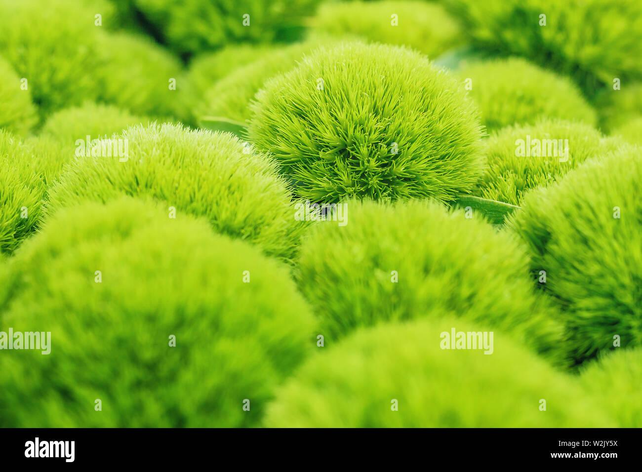 green trick dianthus plant, closeup - Stock Image