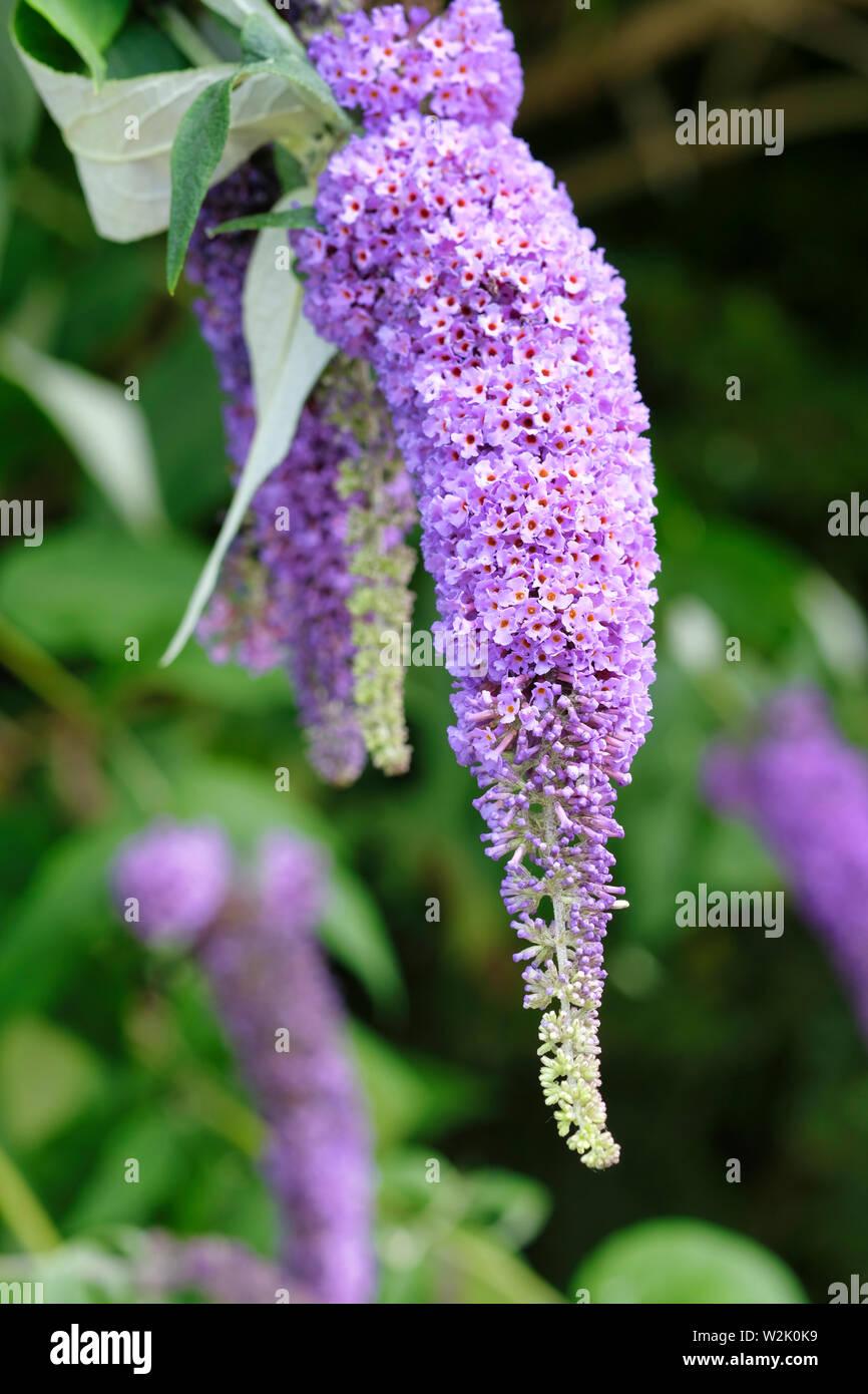 England,UK. Long purple flower spike of the Butterfly Bush (Buddleja davidii) in bloom in early summer in West Sussex. - Stock Image