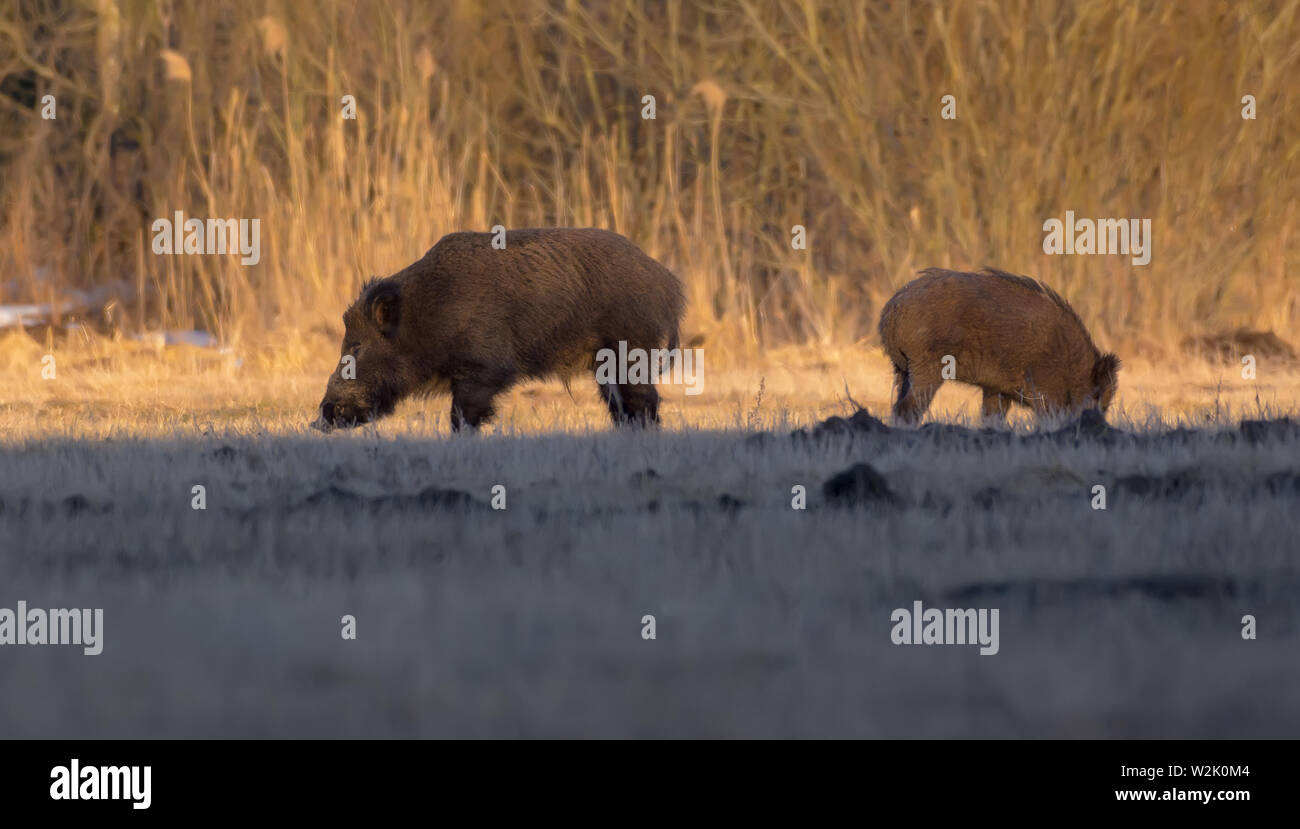 Bunch of wild boars search underground field food near the forest in spring - Stock Image