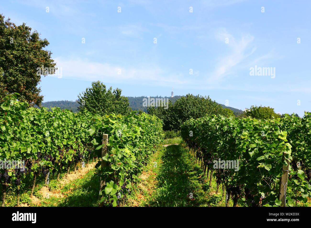 Weinstöcke im Hochsommer in der Nähe von Bühl im Hochsommer Stock Photo