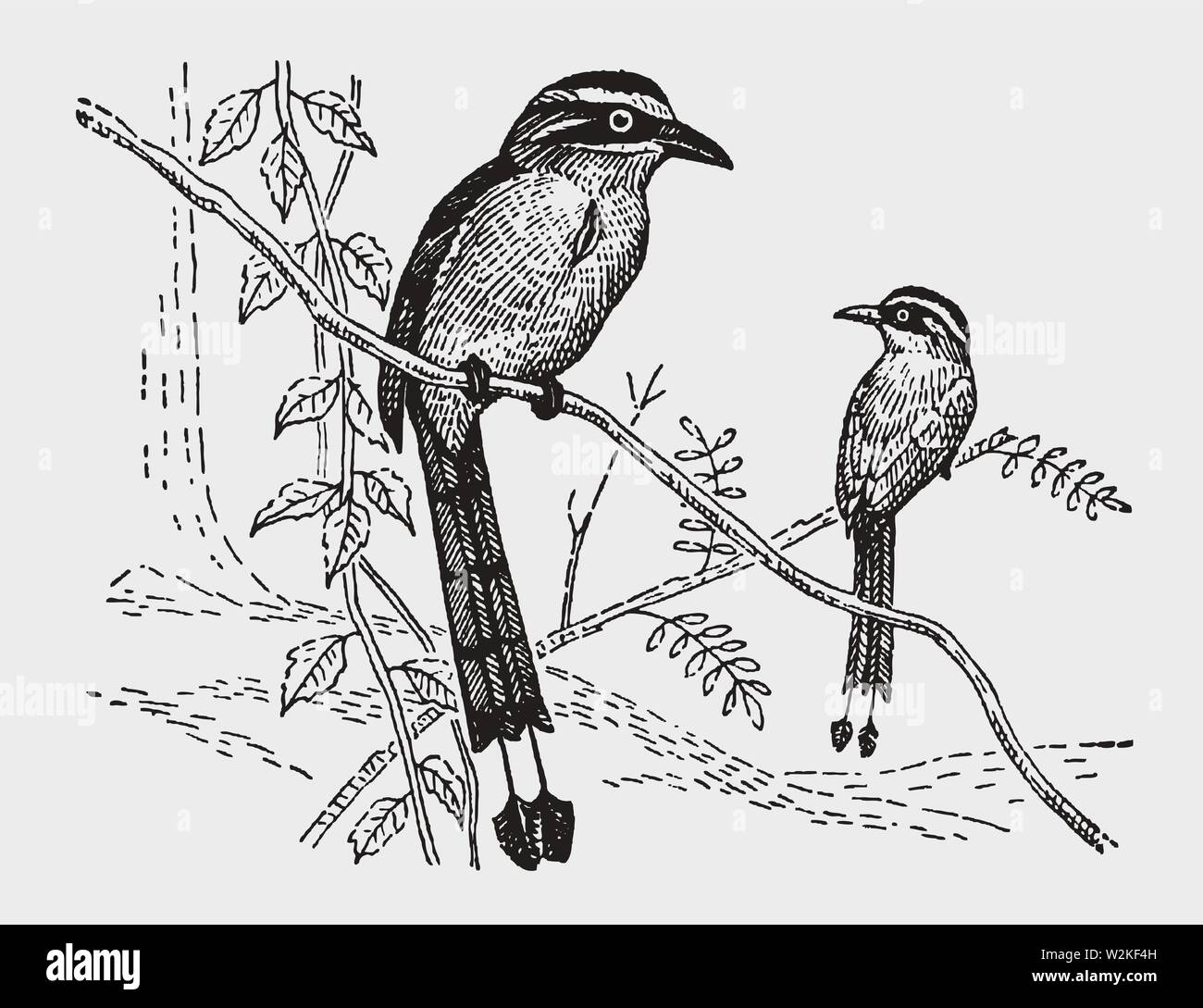 Two Motmot Momotus Birds Sitting On A Branch Illustration After A Historic Engraving From The Early 20th Century Stock Vector Image Art Alamy