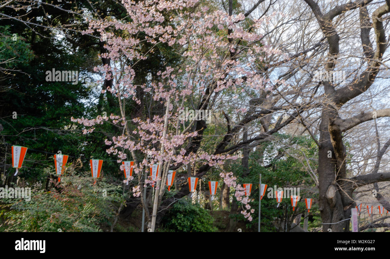 Cherry blossoms were still not fully bloomed when I visited Tokyo but there were a few to find @ Ueno park the most famous spot to view cherry flowers Stock Photo