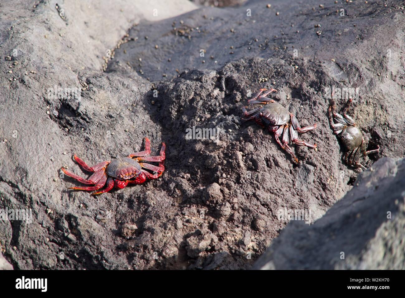 closeup of three Sally Lightfood Crabs Stock Photo