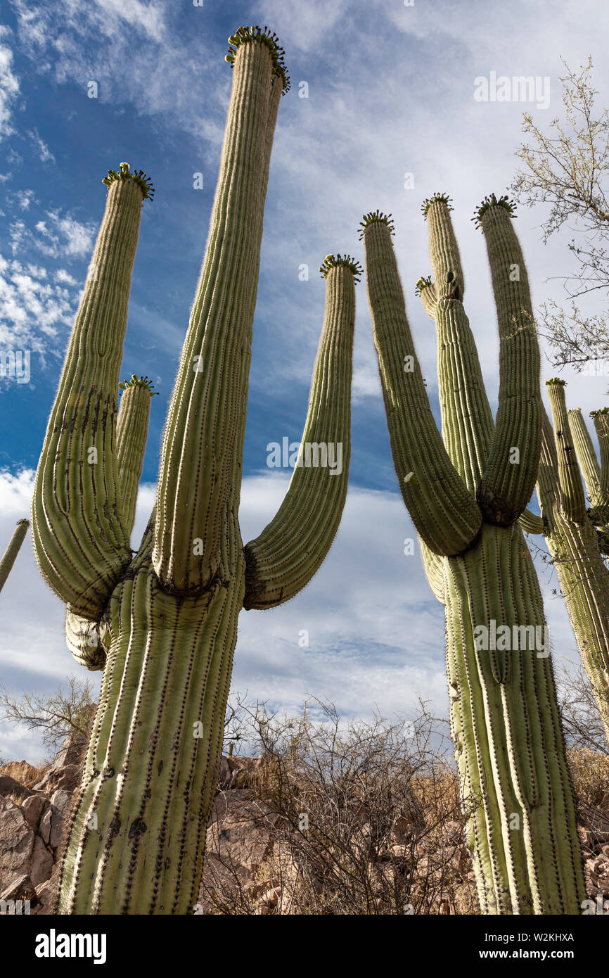 Giant Saguaro Cactus (Carnegiea gigantea), Saguaro National Park, Tucson, Arizona Stock Photo