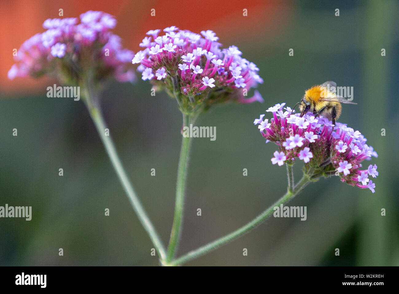 Bee on a pink flower in the garden Stock Photo