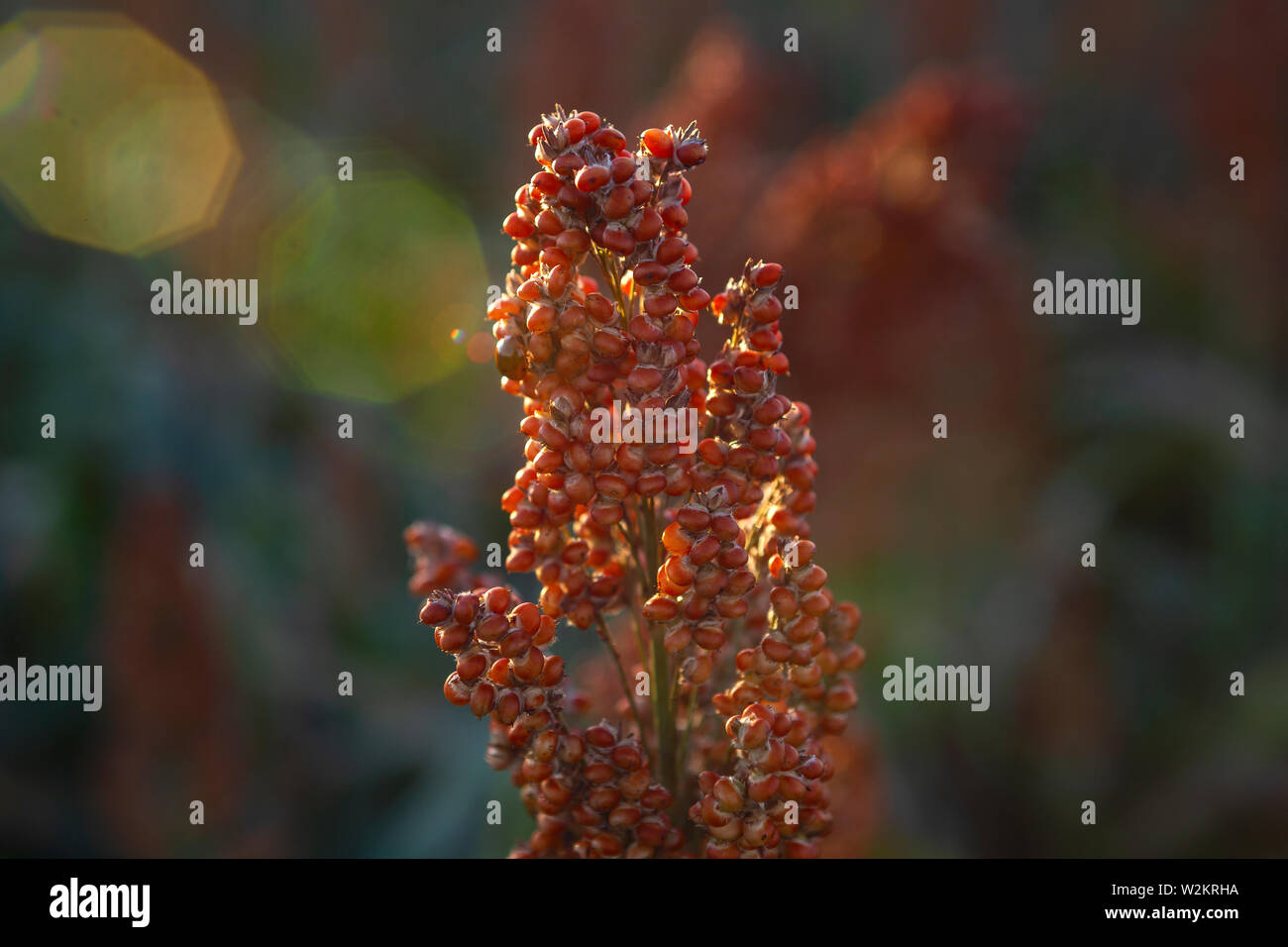 seeds background amazing beautiful images agriculture sorghum cultive Stock Photo