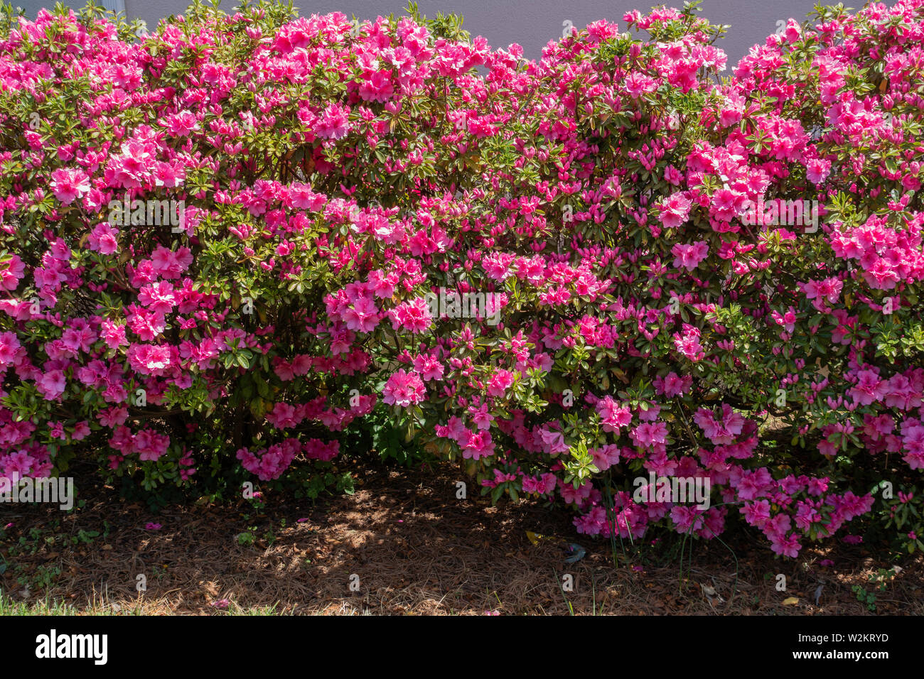 Pink azaleas, ericaceae, in bloom. USA. - Stock Image