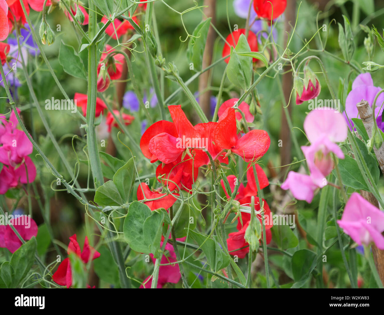 Red and pink flowering climbing sweet peas or Lathyrus in the garden. - Stock Image