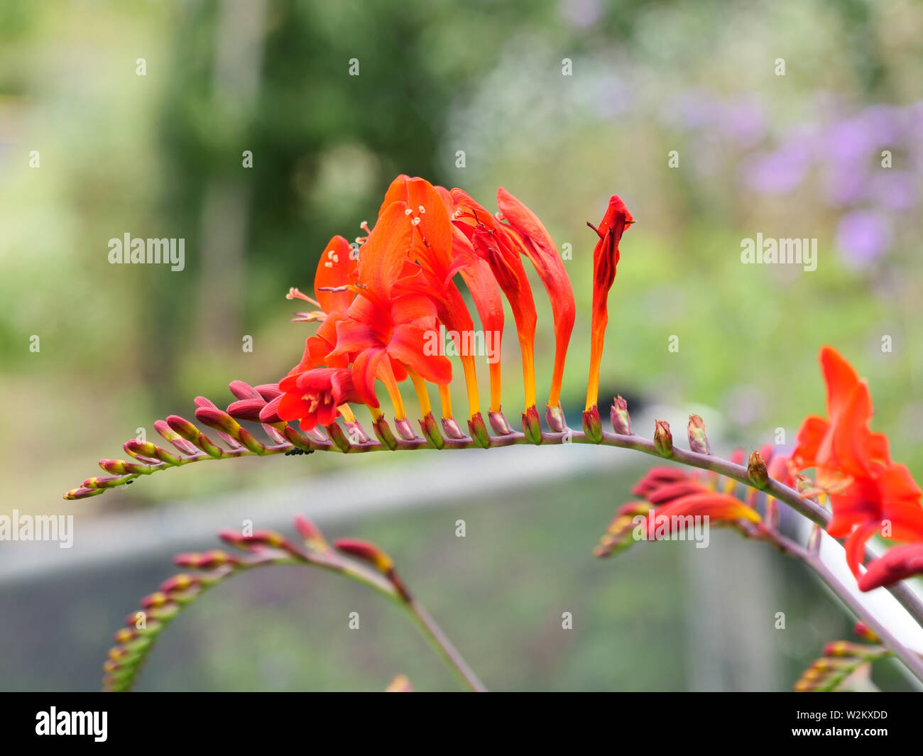Fiery red flower of garden plant Crocosmia Lucifer, which is very good for cutting. Stock Photo