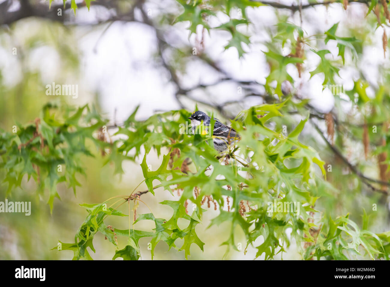 Green oak tree with one Yellow-Rumped Male Myrtle Warbler bird with yellow color and bokeh background in Virginia perched on branch Stock Photo
