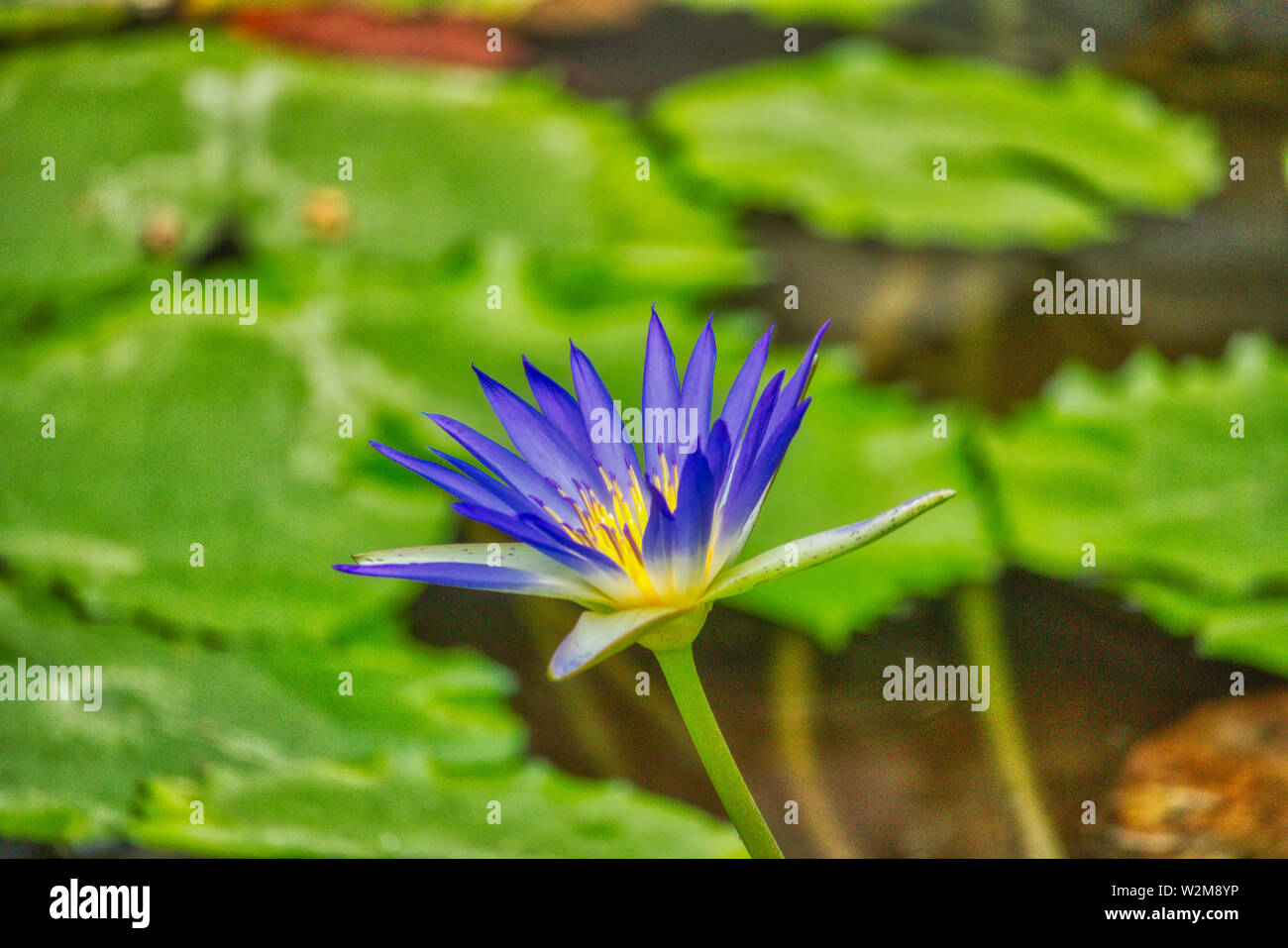 This unique picture shows a large purple flowering water lily. This award-winning picture was taken in the Maldives Stock Photo