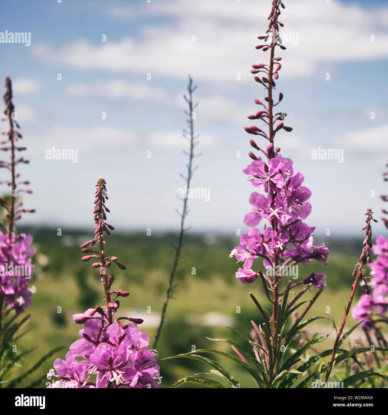 Rosebay willowherb. Chamaenerion. Fireweed angustifolius. Pink flowers. Stock Photo