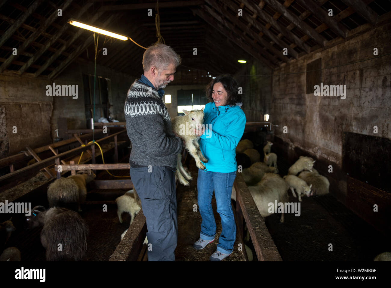 GRUNDARFJORDUR, ICELAND - MAY 19, 2019: Local farmer showing a newborn baby Icelandic sheep to a tourist girl in a stall - Stock Image
