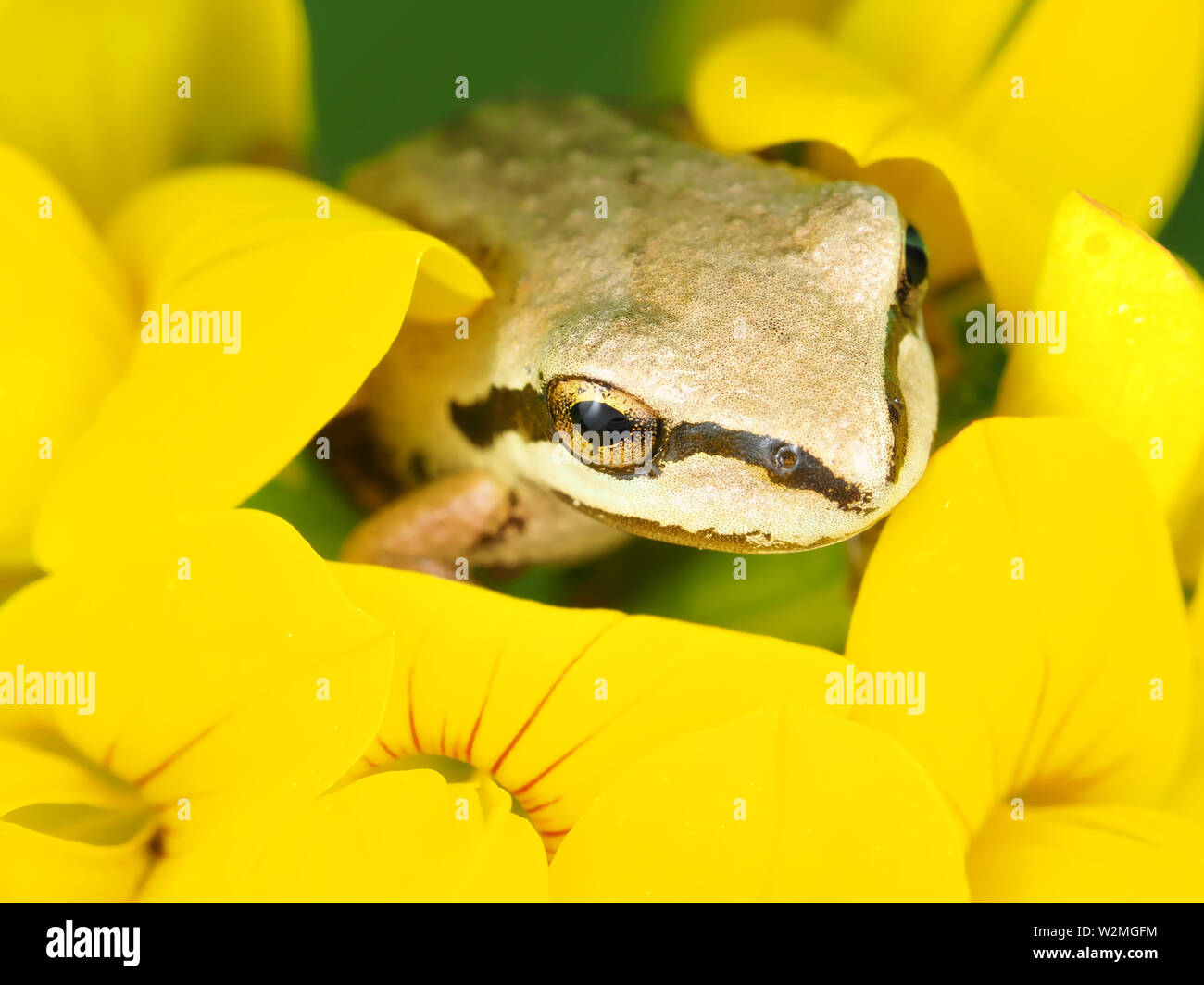 Tiny Pacific tree frog (Pseudacris regilla) sitting in a flower Stock Photo