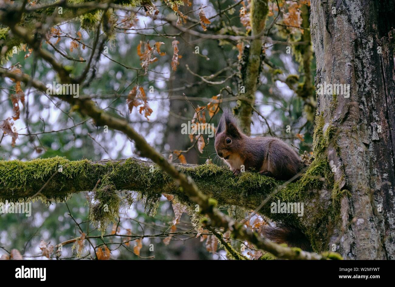 Eurasian Red Squirrel sitting on hornbeam branch in early spring, Bialowieza forest, Poland, Europe. - Stock Image
