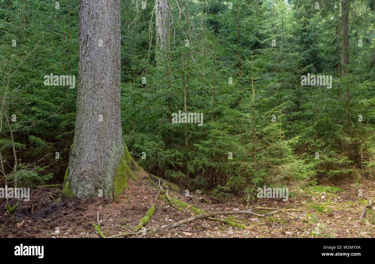 Old Norway Spruce tree and juvenile ones around, Bialowieza Forest, Poland, Europe. - Stock Image