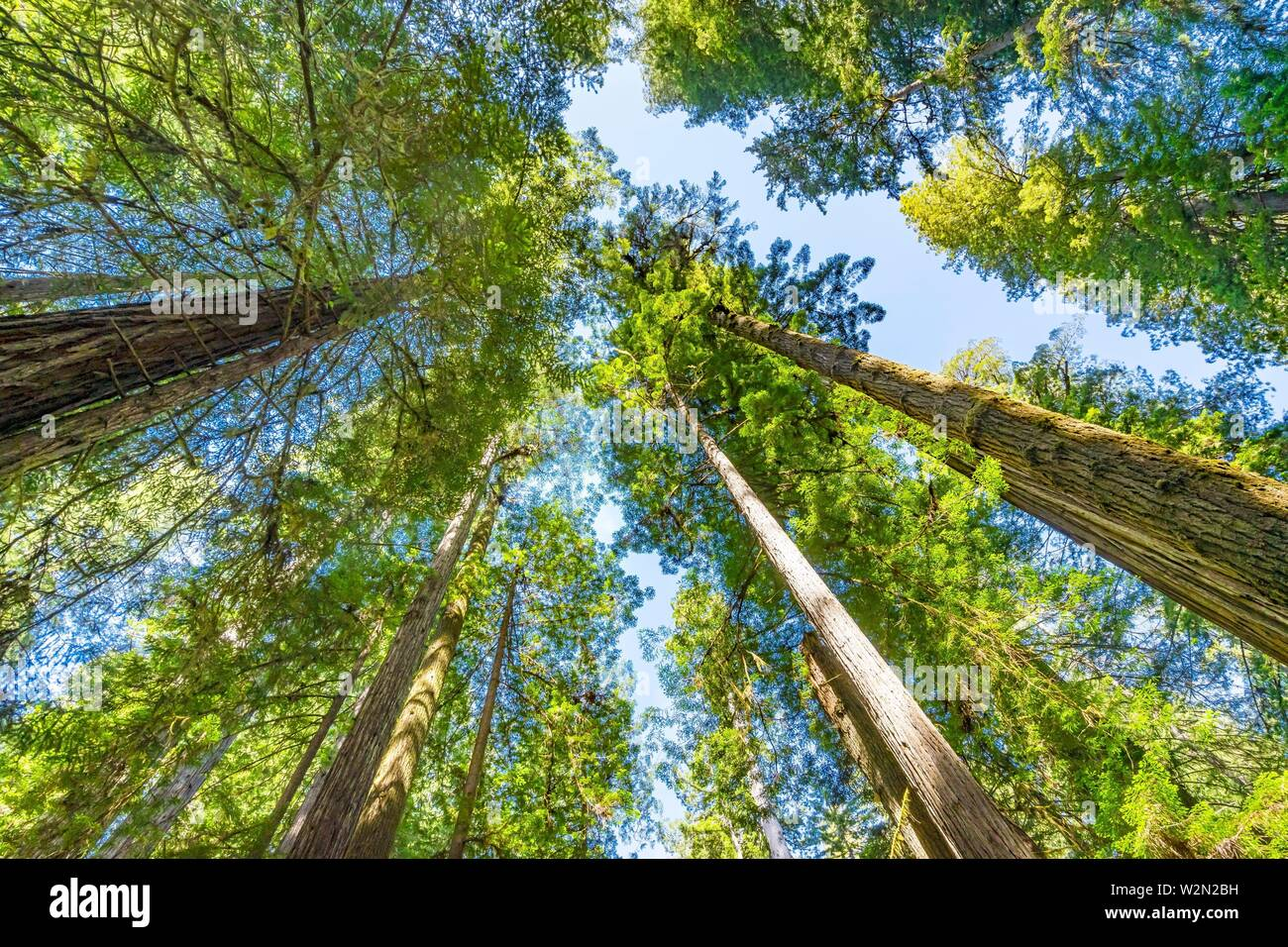 Green Towering Redwoods National Park Newton B Drury Drive Crescent City California. Tallest trees in World, 1000s of year old, size large buildings. Stock Photo