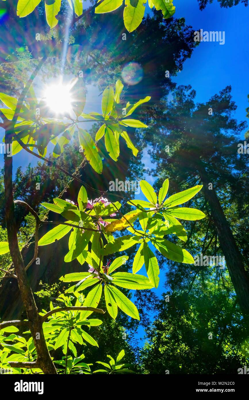 Sun Star Rays Green Towering Redwoods PInk Rhodendron National Park Newton B Drury Drive Crescent City California. Tallest trees in World, 1000s of - Stock Image